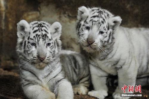 12月1日,萌样十足的小白虎。近日,云南野生动物园的5只白虎宝宝迎来满月之喜,萌萌的小虎崽个头已经比成年猫咪大。据饲养员介绍,由于现在母虎特别护崽,小白虎还要再过40天才能与游客见面。白虎是孟加拉虎的白色变种,野生白虎已经灭绝,现存白虎均为人工繁殖,数量极为稀少,全世界仅有200多只,目前云南野生动物园有白虎40余只。