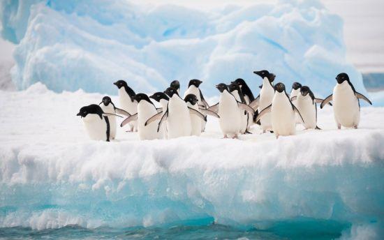 【环球网综合报道】据英国《卫报》2月14日报道,近年来,南极洲一处企鹅繁殖地附近一座罗马大小的冰山坍塌,企鹅们不得不跋涉60公里到海里寻找食物,这导致了约15万只阿德利企鹅死亡。   据悉,生活在英联邦海湾丹尼森角的阿德利企鹅过去栖息在大片的开放水域上。但在2010年,一座2900平方千米大小的巨型冰山崩裂,使得这些阿德利企鹅的繁殖地被陆地所包围。寻找食物的企鹅们必须摇晃着身子跋涉60公里到最近的海岸捕鱼。多年来,这种艰辛的旅途对企鹅的生存造成了毁灭性的影响。   澳大利亚新南威尔士大学气候变化研究