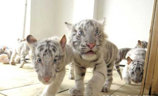 今年元旦,长沙生态动物园6岁的英雄白虎妈妈欢欢经过8小时生产,顺利产下3只小公虎和3只小母虎,目前,虎兄虎妹们快满百日了,白虎宝贝近况如何?今日,记者特意到长沙生态动物园,深入虎穴对它们进行探访。    在长沙生态动物园的精心照顾下,目前6只小白虎正茁壮成长,待到萌笼们满百日时,就能跟游客朋友见面了。为了有助于这6只活宝更加健康成长,长沙生态动物园从即日起,特向全社会为这6只小白虎征集名字,并欢迎各界人士助养小白虎,有兴趣的读者可拨打长沙生态动物园电话:0731-85476918和晚报热线:96