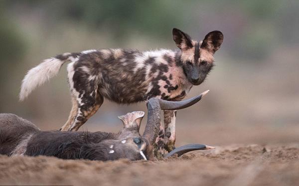 公�_摄影师拍南非野狗捕食成年公羚羊