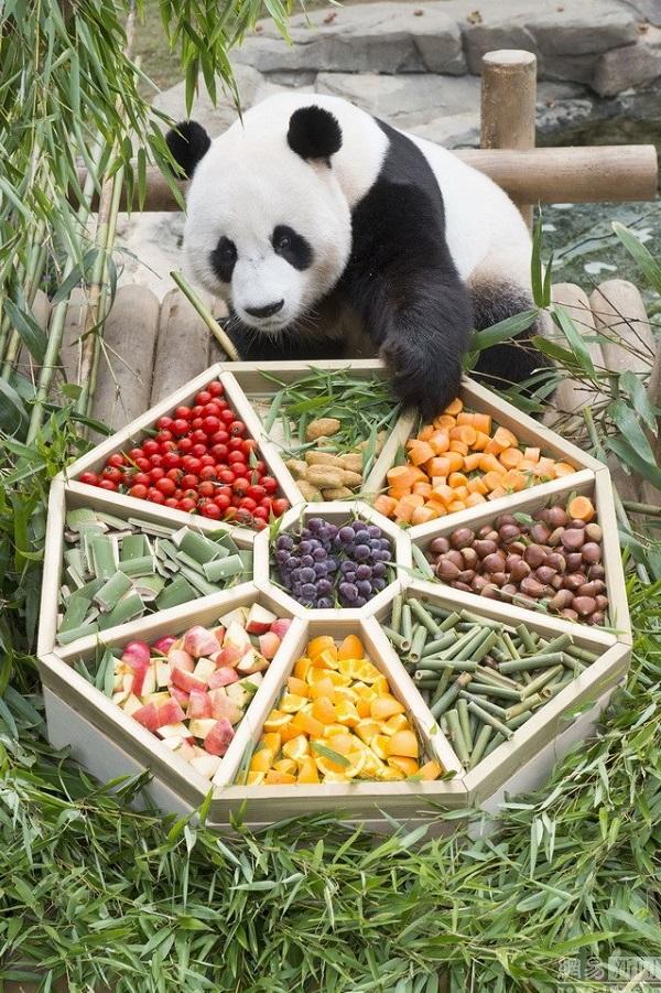 韩动物园大熊猫提前享中秋大餐 吃得好开心