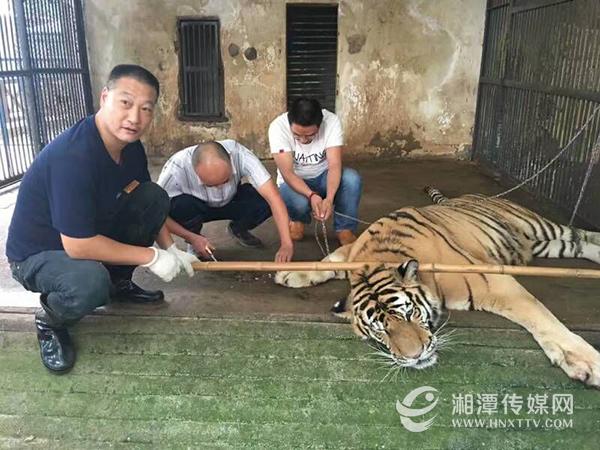 """和平公园动物园的老虎""""虎虎""""是不少市民喜爱的动物"""