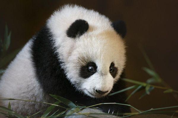 """园12日为刚出生的大熊猫起名为""""竹莉娜""""(chulina),意思是可爱的女孩"""