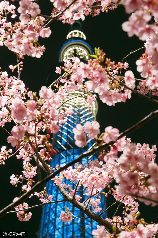 日本东京,东京晴空塔下的河津樱花盛开