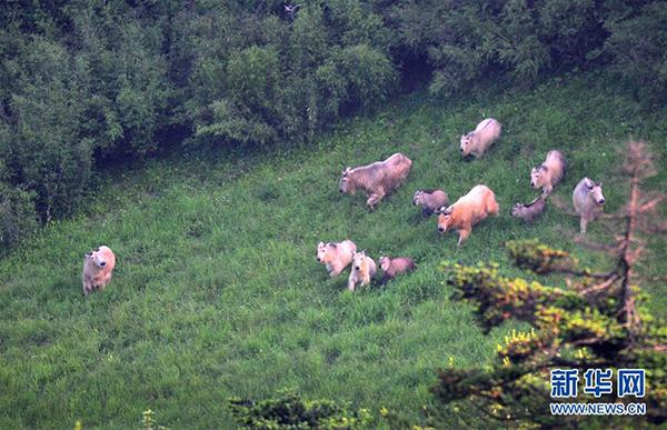 秦岭羚牛又名金毛扭角羚,是国家一级保护动物.   新华社发(王平摄)